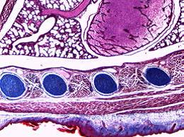 DM100 DM300小鼠胚胎2.jpg